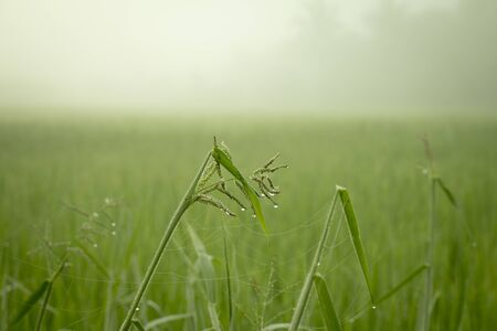 Closeup of meadow with spider web on green rice field in heavy mist morning day.