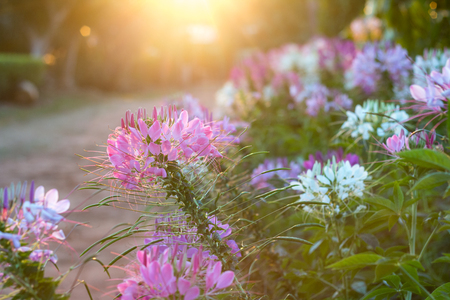 Spider flowers or CLEOME SPINOSA LINN are bllooming on flare from sun rise time in autumn.