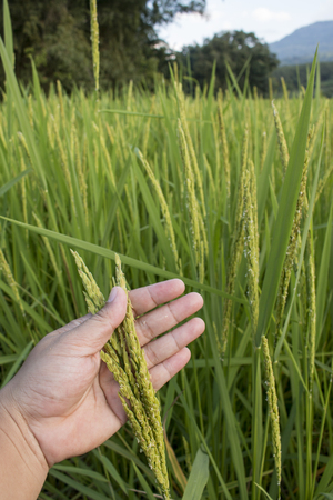 Closeup of hand checking rice spike in Paddy field on autum.