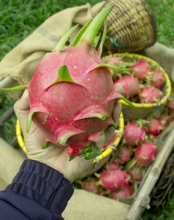 Soft focused of dragon fruit hold in farmer hand present the best product form his farm. Stock Photo