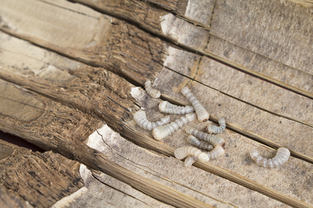 mealworm: Bamboo worm ,Chrysalis or bamboo insect.