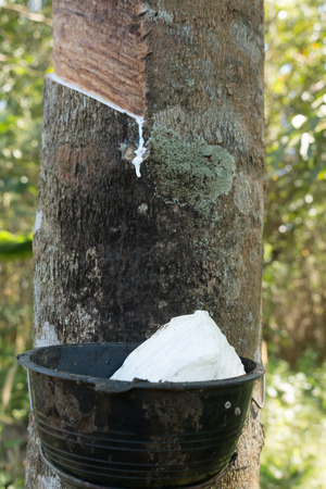 Tapping sap from the rubber tree. Stock Photo