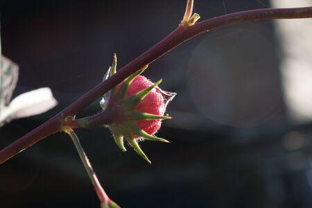 Hibiscus sabdariffa or roselle flower.