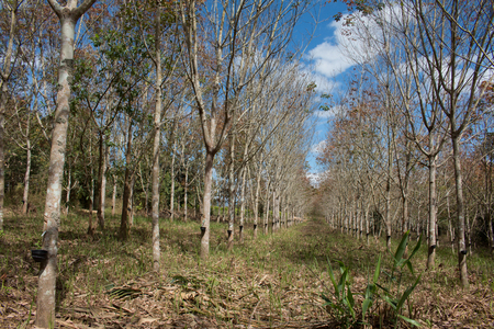Landscape rubber plantation during day with blue sky.