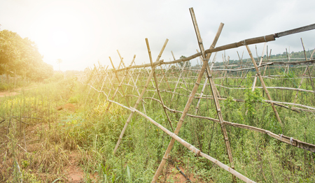 Old bamboo hanger for plantation in farm.