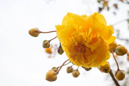 Yellow Silk Cotton Tree flowers. Stock Photo