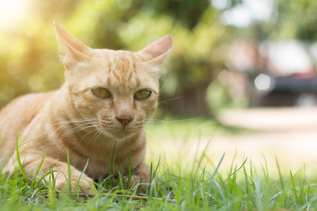 closeup of cute yellow cat stay on green grass floor.