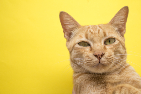 Cute Ginger tabby cat on yellow background .
