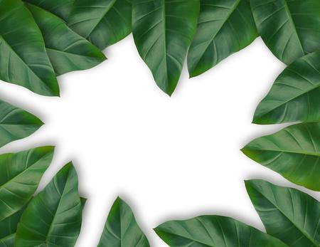 Green Caladium leaves tropical plant leaf set for nature background or green tropical leave frame concept natural background, Original dimensions 7500 x 5780 Pixels.