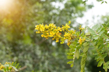 Cassodeboom, Thaise Koperpoot (Senna Siamea (Lam.). Stockfoto