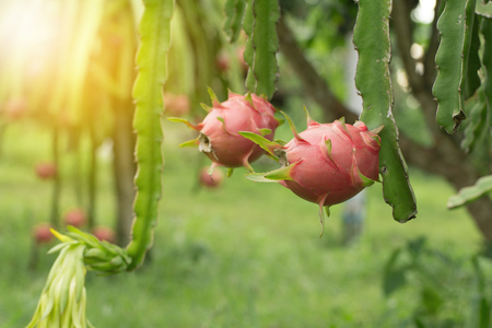 Dragon fruit on plant, Raw Pitaya fruit on tree, A pitaya or pitahaya is the fruit of several cactus species indigenous to the Americas.