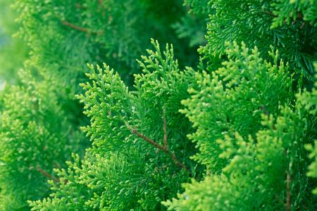 소나무 잎, 상록 Thuja 배경, 겨울 트리 및 크리스마스 트리 배경 개념입니다.