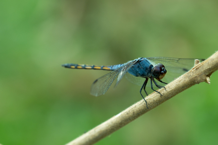 Close up of Blue dragonfly.