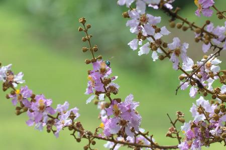 Lagerstreomia floribunda Jack flower on green natural background.