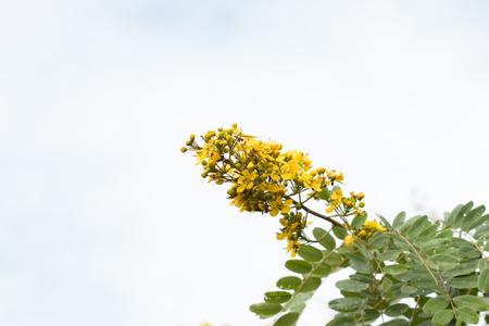 Cassodeboom, Thaise Koperpoot (Senna Siamea (Lam.). Stockfoto - 86912892
