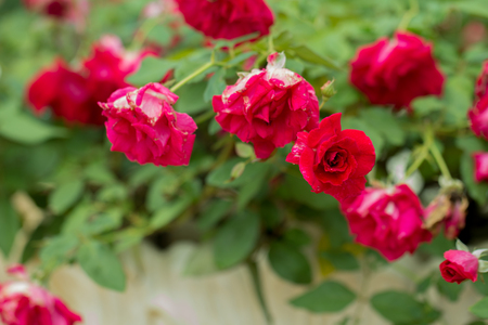 Red roses on branch.