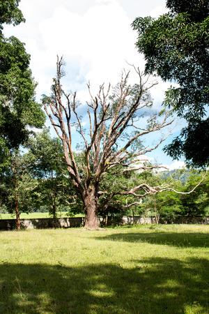 Mango dead tree on green field park. Stock Photo