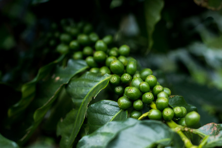 Green arabica coffee fruits on tree close up short and take under lighting sceen, Image present agriculture feel and can useful in document in seminar or  organic product package background.