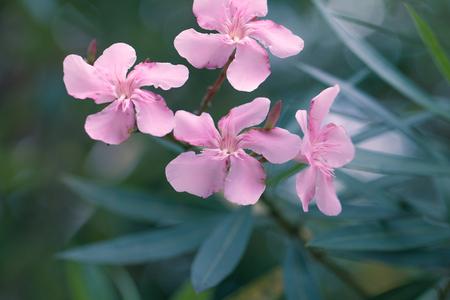 Oleander pink flower on a green leaves background.