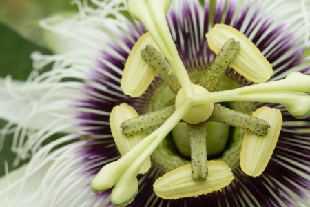 passion fruit flower: Close up of Passion flower (Passiflora incarnata).