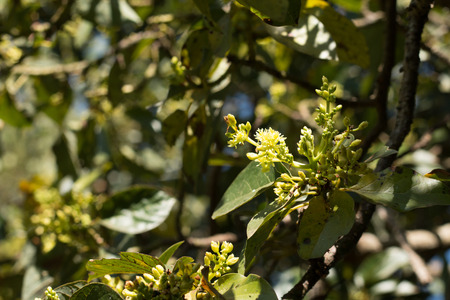 Fiore di avocado sulla pianta. Archivio Fotografico - 87471742