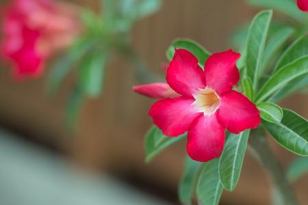 Desert rose or red Bignonia, Adenium flower.