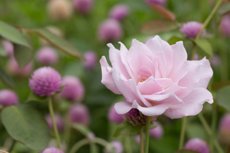 roze: Soft focus of Pink rose. Stock Photo
