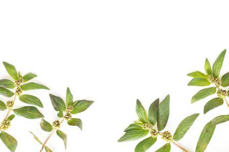 Garden Spurge (Euphorbia hirta L.) Herbal warts treatment groups isolated on white background. Stock Photo