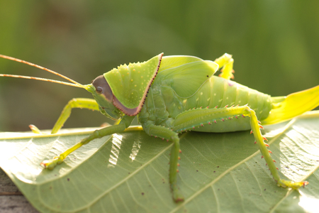 Baby of green giant katydid on leaf with natural background.