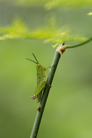 Green Grasshopper on plant.