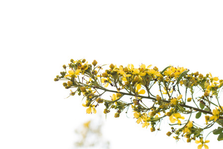 Cassodeboom, Thaise Koperpoot (Senna Siamea (Lam.).