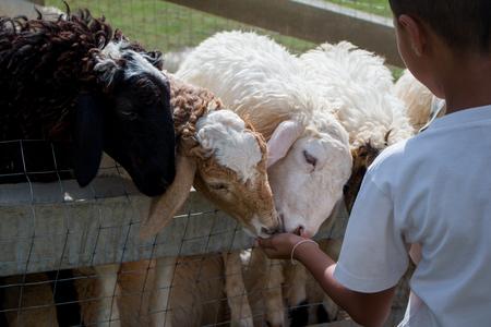 The boy is feeding sheep on the farm.