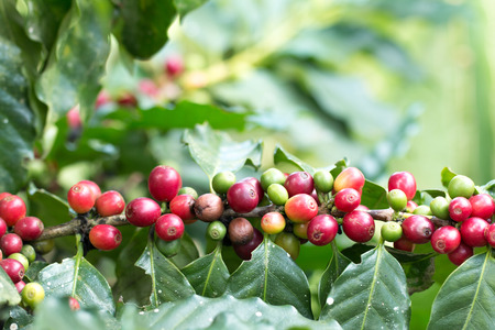 Arabica Coffee berry ripening on a tree.