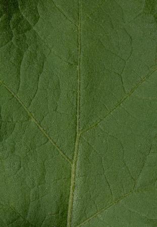 Solanum stramoniifolium Jacq. leaf texture. Stock Photo