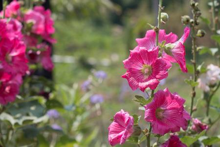 Hollyhocks blooming in garden. Stock Photo