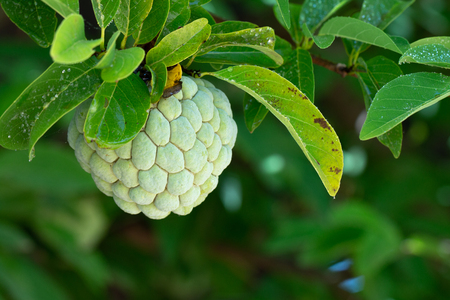 Sugar Apple or Custard Apple on tree.