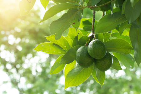 Avocado on plant or Raw avocado on tree fresh product in Thailand's organic farm,Avocado fruit on tree useful for works like brochure, magazine, food business or other industrial. 写真素材