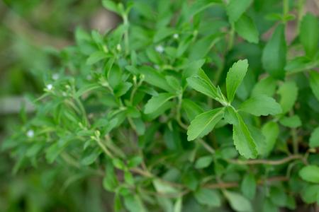 Natural organic sugar substitute stevia.