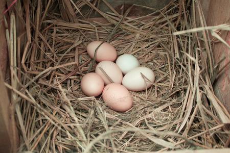 Farm fresh eggs, still in a the hen house.