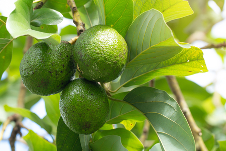 Avocado on plant or Raw avocado on tree fresh product in Thailand's organic farm,Avocado fruit on tree useful for works like brochure, magazine, food business or other industrial. 免版税图像