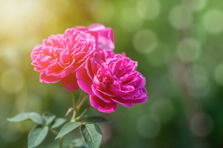 Bouquet of pink roses in green natural background.