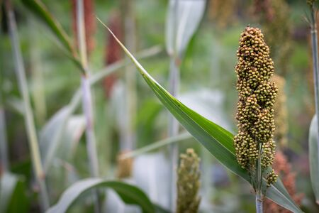 Close up Millets standing in field.