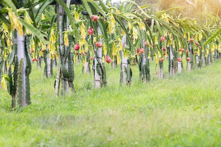 Dragon fruit field or Landscape of pitahaya field, A pitaya or pitahaya is the fruit of several cactus species indigenous to the Americas.