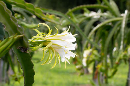 Dragon fruit flower on plant, A pitaya or pitahaya is the fruit of several cactus species indigenous to the Americas. It's popular plantation in south-east Asia. 版權商用圖片