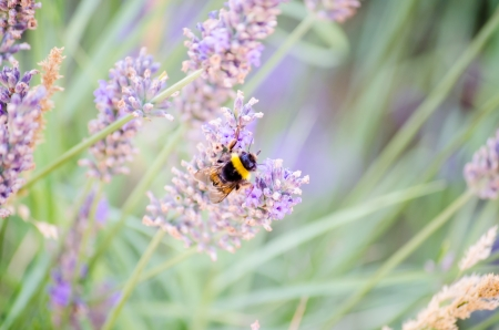Bee pollinating lavender flowers photo