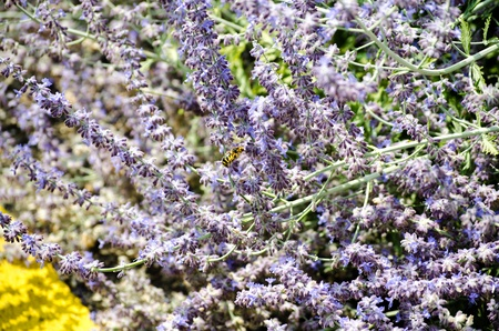 Lavender field with bees photo