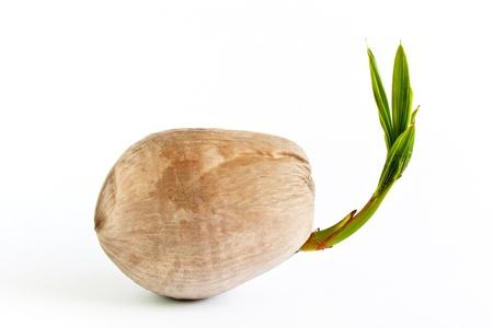 coconut seedlings: Coconut fruit go to tree Stock Photo
