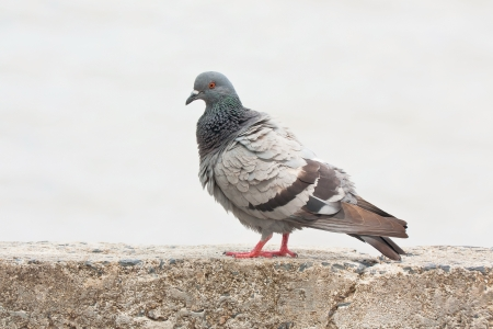 Pigeon on the wall photo