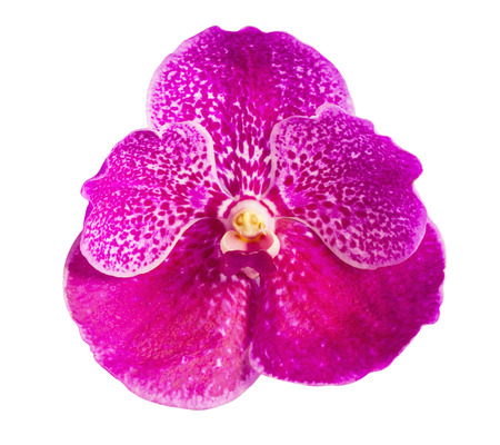 Vanda orchid flower isolated on white background photo