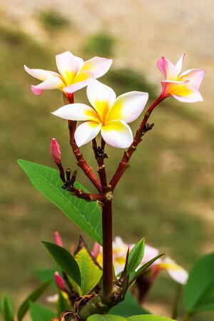 leelawadee: Leelawadee flower in Thailand Asia